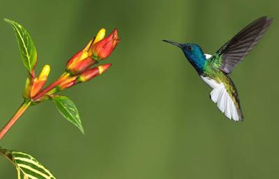 Hummingbird - Animals Beginning With H