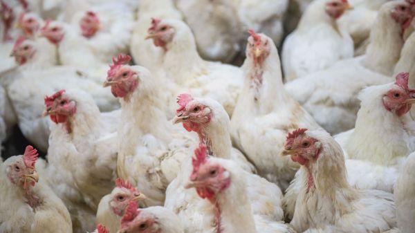 50 Fakta Unik Tentang Ayam
