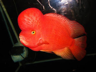 Ikan Louhan Super Red Synspillum (SRS)