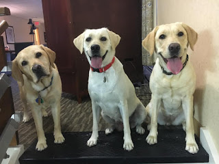 In a living room, three yellow Labrador retrievers look directly into the camera. One dog stands with their head cocked and a serious expression. The other two sit with happy expressions. Their mouths are open and tongues are out.