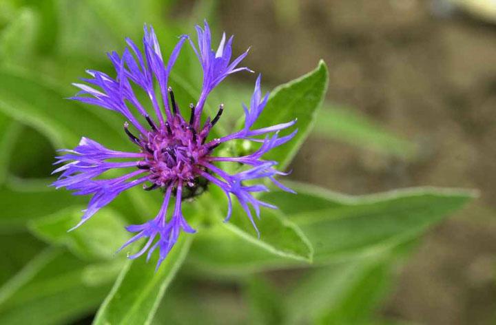 Fleurs Sauvages Mauves