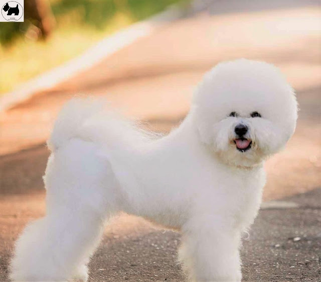 Cutest Dog Breeds, Best Dog, Bichon Frise Dog