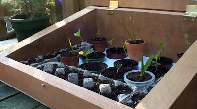 seedlings started in a cold frame