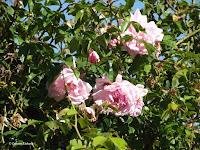 Heritage roses - Christchurch Botanic Gardens, New Zealand