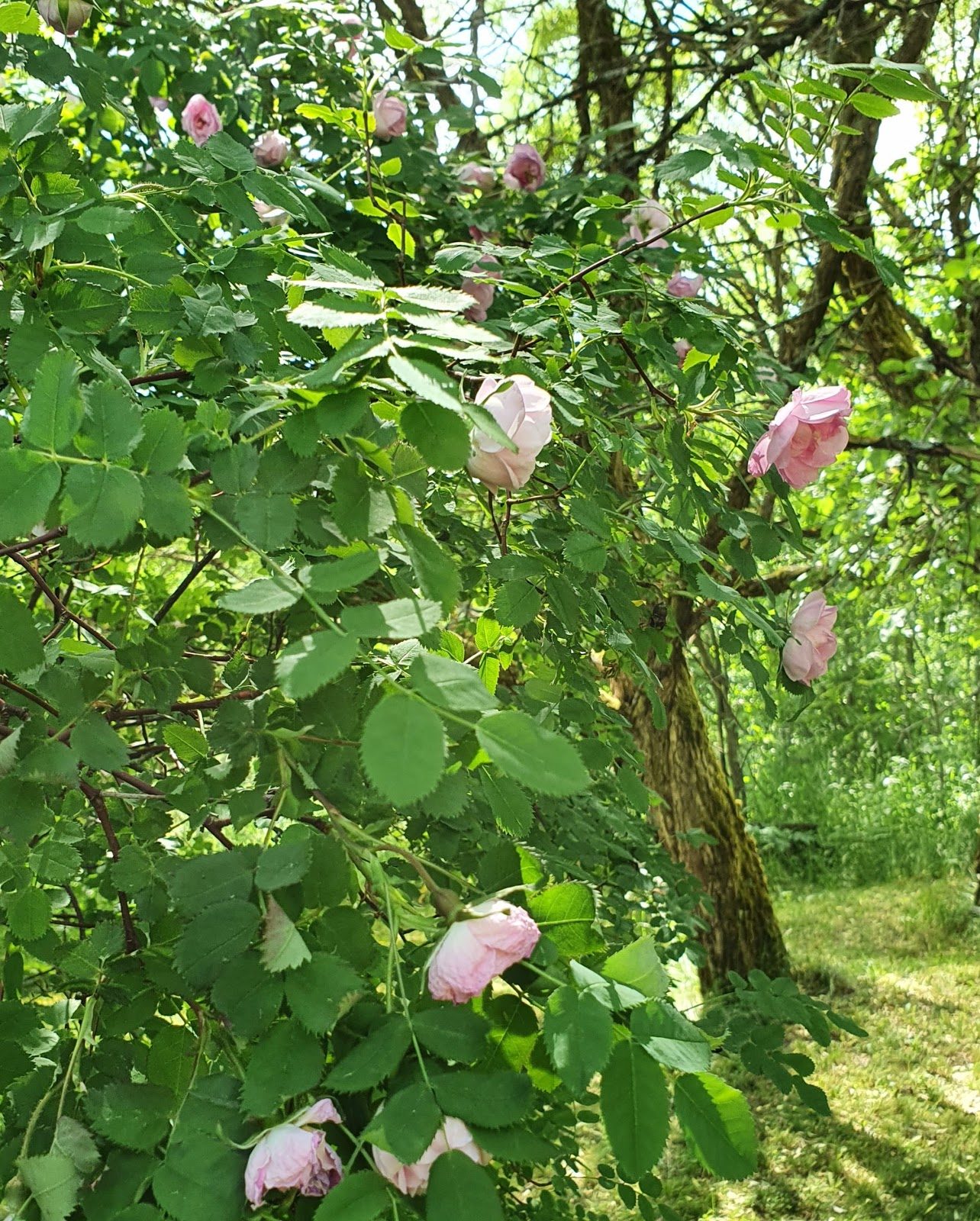 vaaleanpunainen ruusupensas