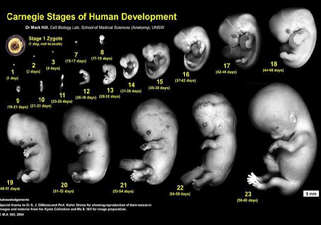 carnegie stages of human development