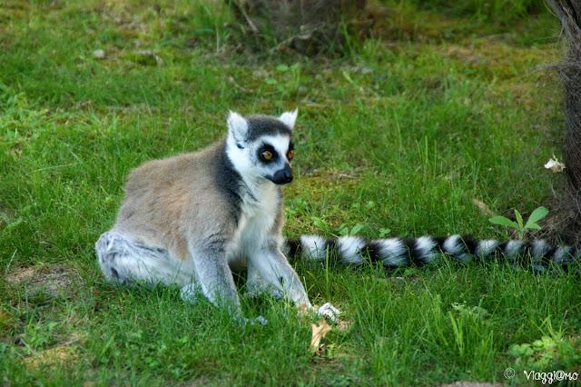Uno dei Lemuri ospiti del parco