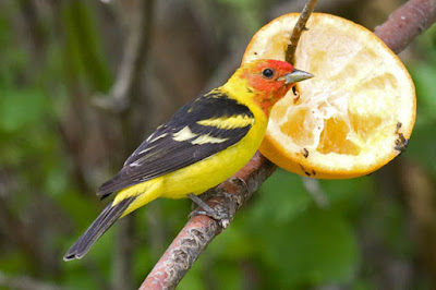 Photo of Western Tanager eating orange half