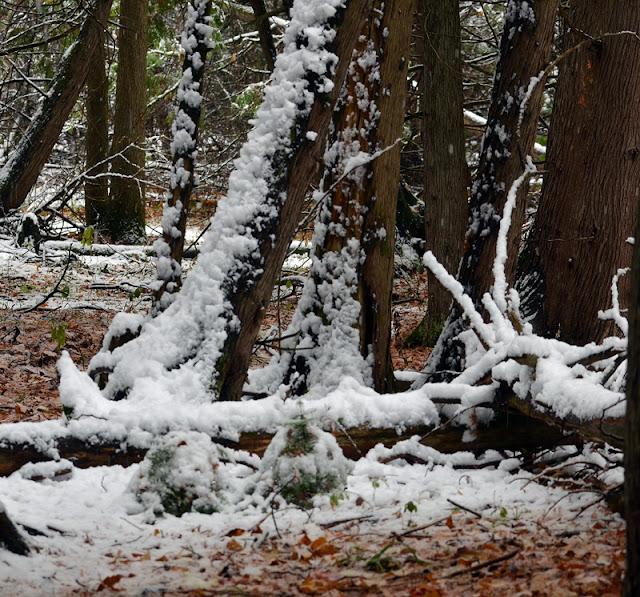 new snow on cedar trunks