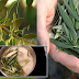 The Wonders Of This Leaf That Prevent Arthritis, High Blood Pressure And Diabetes