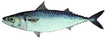 Peixe Cavalinha | Scomber japonicus
