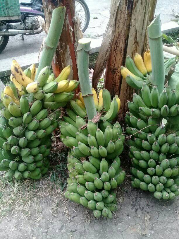 panen pisang cavendish