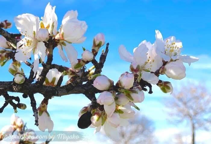 つぼみをたくさんつけるアーモンドの花
