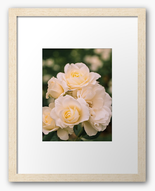 Lovely Moondance white roses are blooming