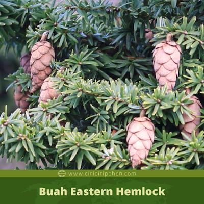 Ciri Ciri Buah Eastern Hemlock