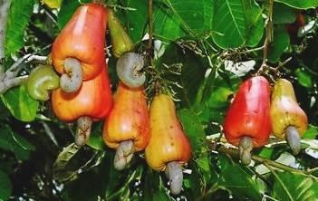 khasiat dan manfaat dari Jambu Monyet, jambu mete, mente, dan mede (Anacardium occidentale)