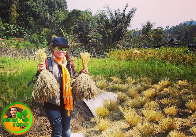 Lurah Yuli Merdekawati dan pocongan padi