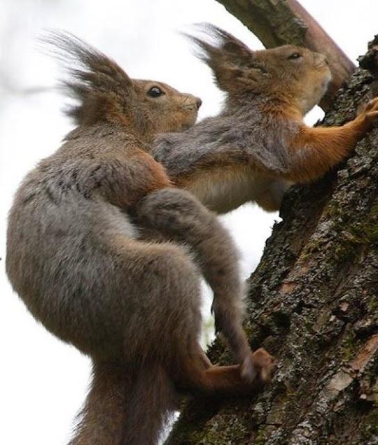 Os esquilos são membros da grande família de mamíferos roedores de pequeno e médio porte.  Constroem ninhos com folhas e galhos, para abrigarem as suas crias da chuva e do vento, em ramos muito altos, em árvores como a cajarana. Durante a gestação, os pais preparam o ninho para receber os filhotes, que variam de 3 a 10 por ninhada. Quando adulto, as maiores espécies da família chegam a medir de 53 a 73 centímetros de comprimento (com a cauda).