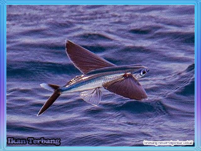 gambar ikan terbang