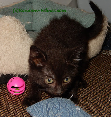 foster kitten, black kitten