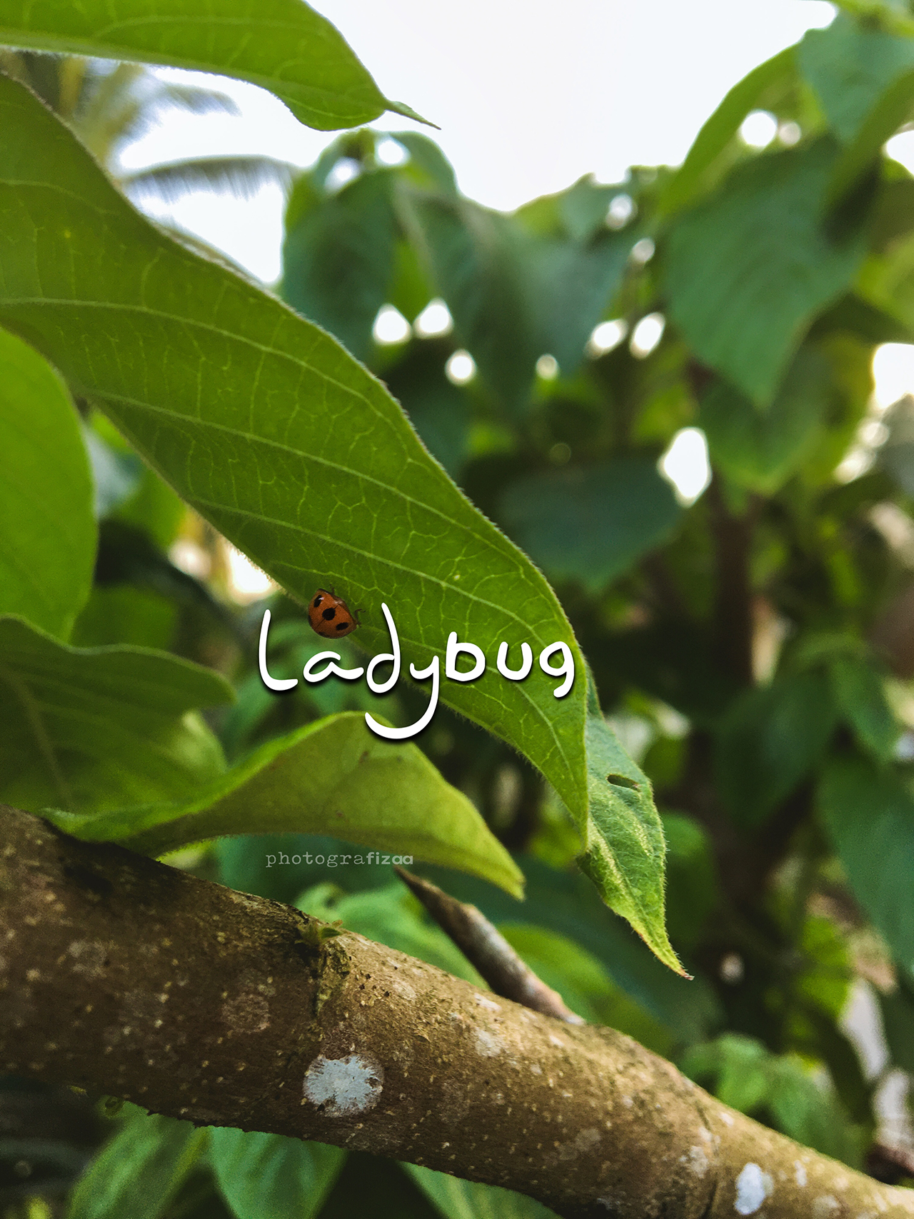 Ladybug atau ladybird