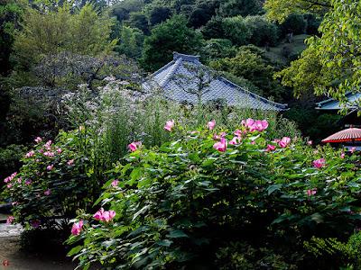 Fuyo (Hibiscus mutabilis) and Sion (Aster tataricus) flowers: Kaizo-ji