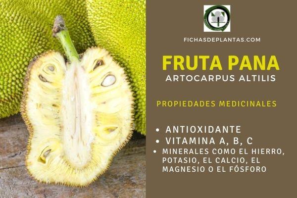 La Fruta del Pan o Pana las propiedades atribuidas tradicionalmente