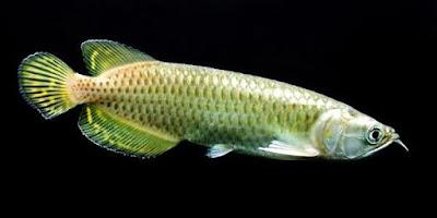 Ikan Arwana Jardini / Arwana Irian