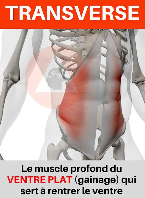 anatomie musculation à domicile des abdominaux et muscle transverse pour ventre plat