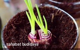 cara budidaya bawang merah
