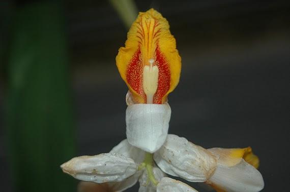 Alpinia latilabris