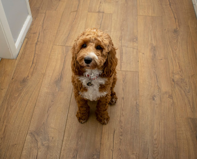 Red and white cockapoo puppy sat on oak flooring
