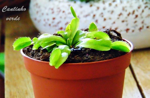 Dioneia - Dionae Muscipla, planta carnivora