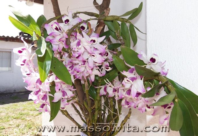 Dendrobium (olho-de-boneca)