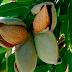 Condenado un vivero de plantas de frutales por un delito contra la propiedad industrial por reproducir sin autorización variedades vegetales de frutal