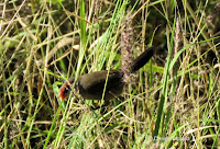 Common waxbill at Diamond Head, Oahu - © Denise Motard