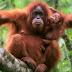 Melindungi Orangutan, Para Pengusaha Diminta Perhatikan Lingkungan