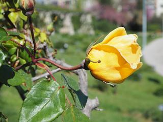 Rosa groga al roserar del Parc de Cervantes. Rosers d'arbret. MME. PIERRE S. DUPONT. Híbrid de te. Obtentor: Charles Mallerin, França, 1929. PE / 16 (Barcelona) per Teresa Grau Ros