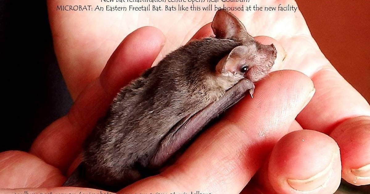 Promoting | Microbat | New bat rehabilitation centre opens near Goulburn