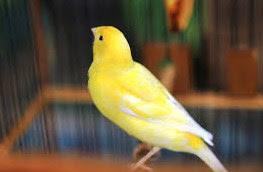 Tips Dan Cara Merawat Burung Kenari Agar Gacor Setiap Hari Terlengkap