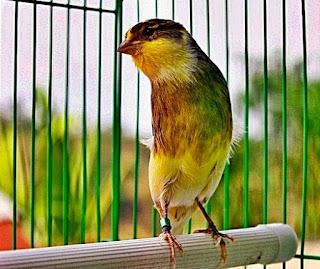 Manpaat Dan Kisaran Harga Terbaru Vitamin Burung Kenari Ternak Saat Ini