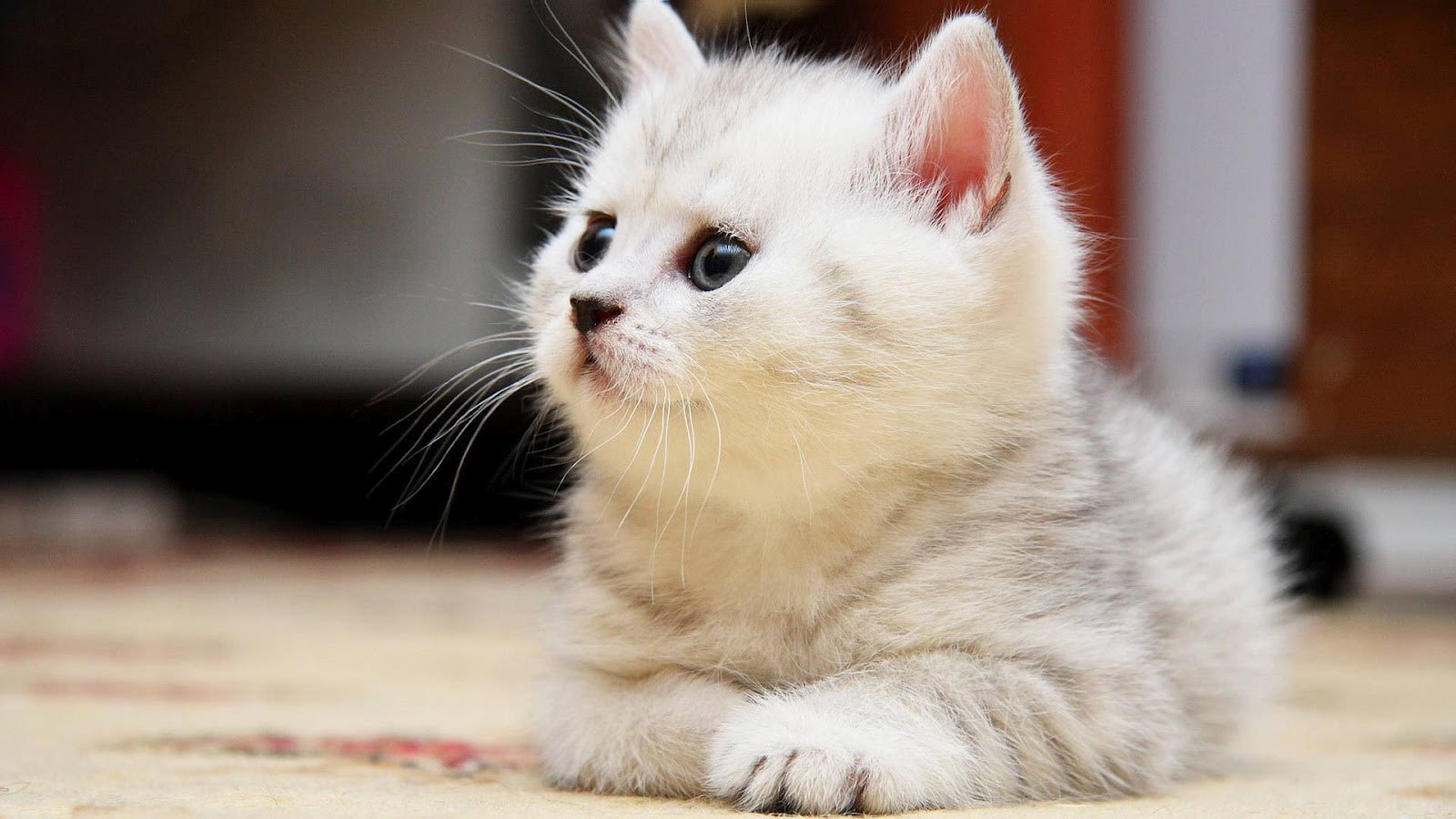 Wallpaper With A Resting White Cat Hd Cats Wallpapers Backgrounds