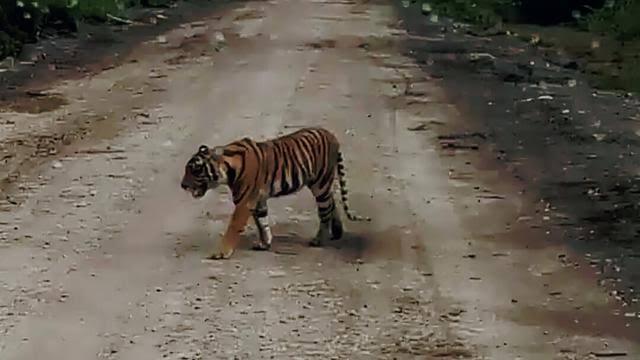 Ilustrasi harimau.