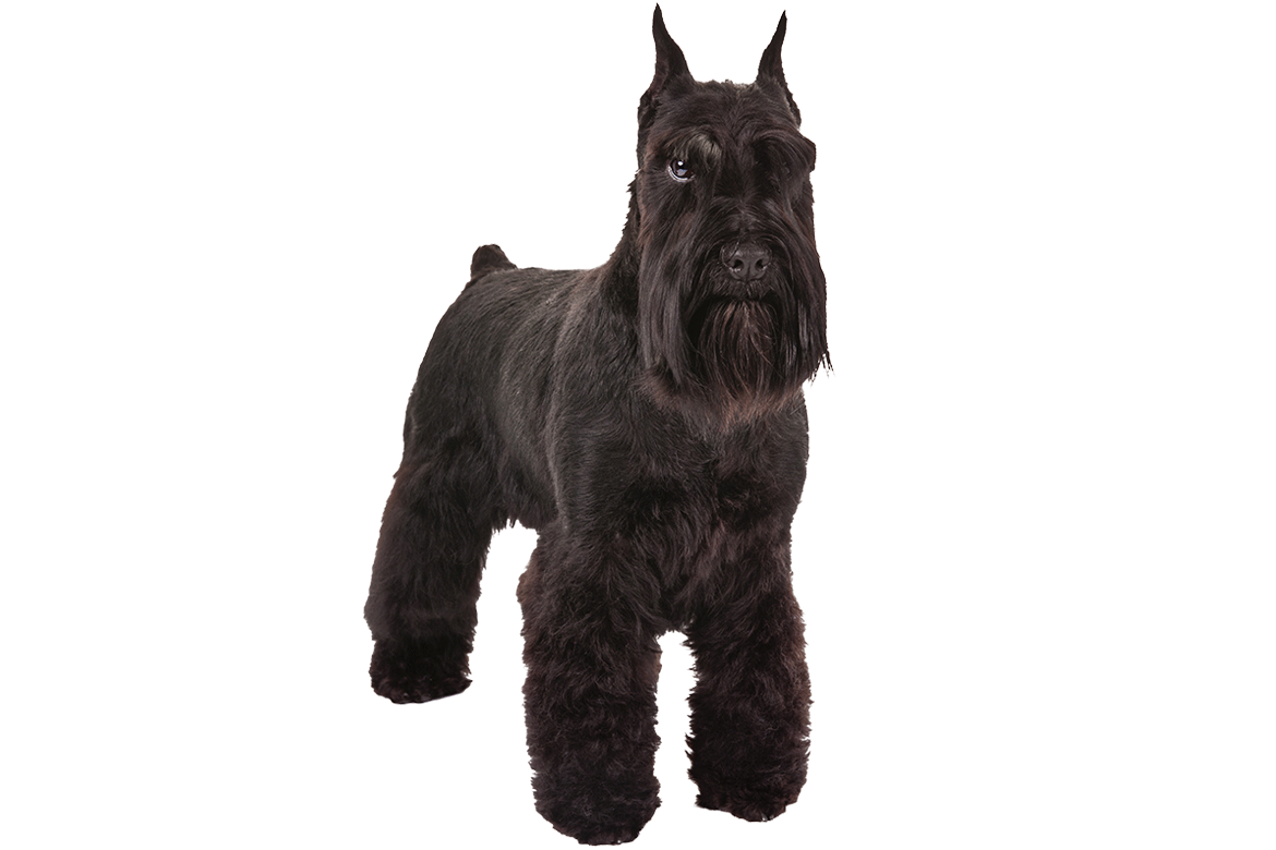 Everything About Your Giant Schnauzer Luv My Dogs