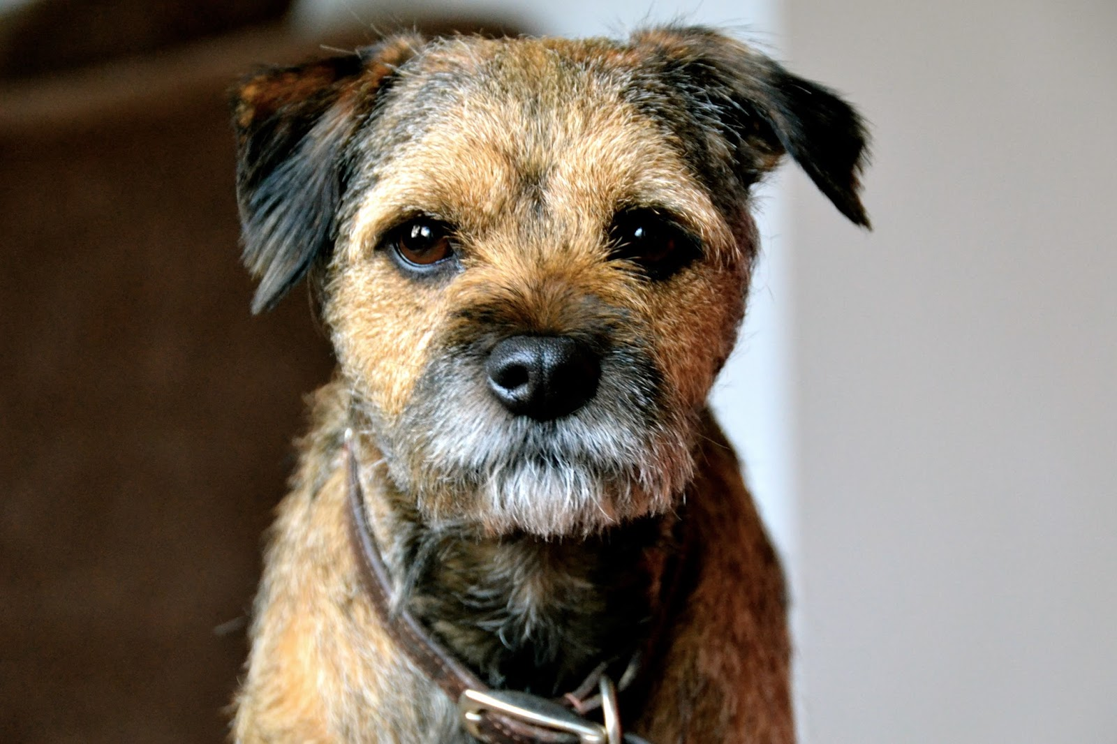 Pictures Of Border Terrier Dogs