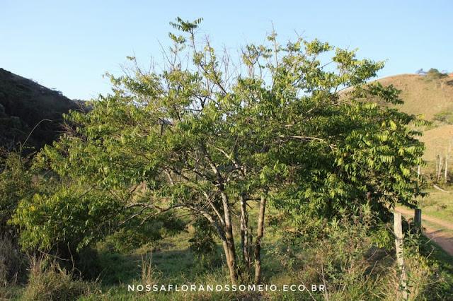guaçatonga-na-paisagem-com-porte-de-arbusto