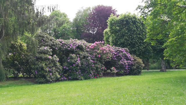 Eremitage Bayreuth - Blühender Rhododendron