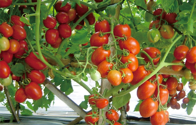 pohon tomat