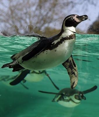 Já se perguntou como os pinguins suportam o gelo?