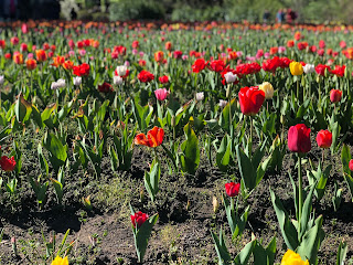 Enjoy tulip fields during October and November